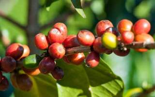 ripe coffee beans cherry