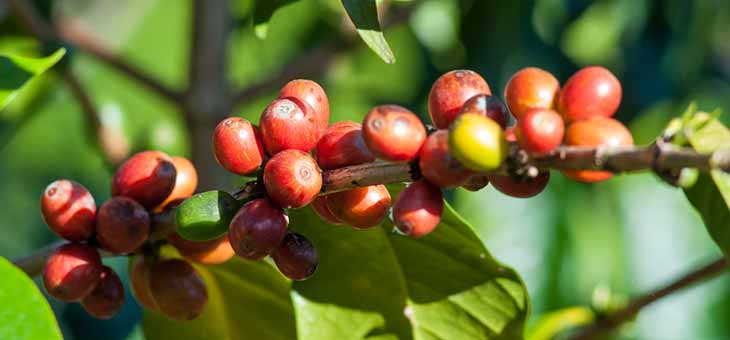 ripe coffee beans cherry