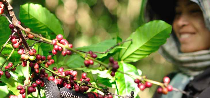 Woman harvesting coffee berries