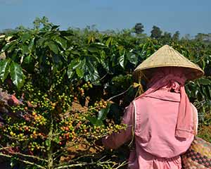 coffee worker picking coffee cherries