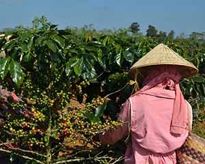 coffee worker picking coffee cherries