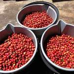 buckets of ripe coffee cherries