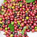 coffee cherries after picking harvested