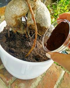 tipping-coffee-grounds-onto-soil-near-plant